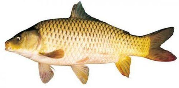 Làm thế nào để có món cá tươi ngon